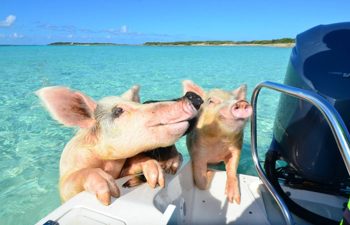Bahamas Swimming Pigs